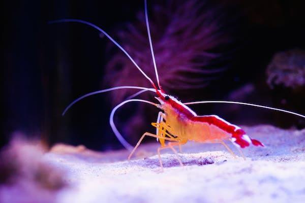 Doctor Shrimp